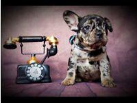 Beautiful Merle french bulldogs