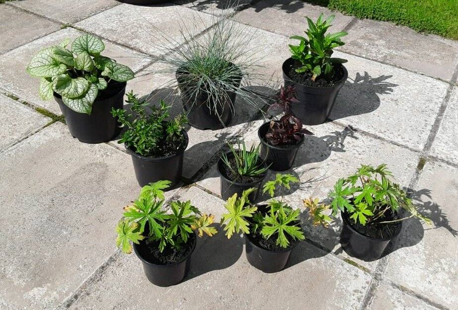 9 X Hardy Garden Plants In Pots 1 Xtra Free 20 Glenrothes