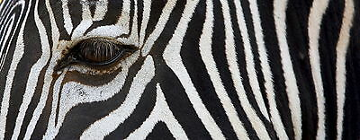 Glass Wall Art Of Large Printed Zebra Frameless Picture Deco