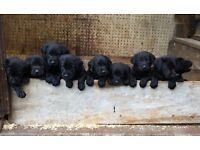 11 beautiful KC Labrador puppies
