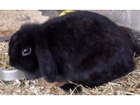 Fifi the lop-eared rabbit needs a loving home