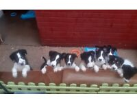 Border collie puppies !READY NOW!