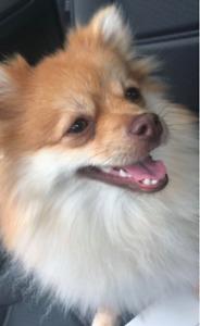 DOGNAPPED - POMERANIAN DOG, 10lbs, Fox Face, Gold & White, F