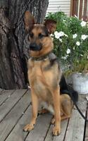 "Adult Male Dog - German Shepherd Dog: ""JORDAN"""