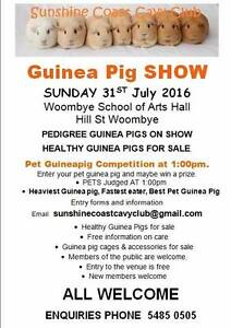 Guinea Pig Show healthy guinea pigs for sale Woombye Maroochydore Area Preview