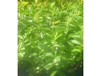 Luarel hedging 2ft for sale