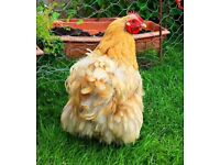 2 hens and a cockerel for sale