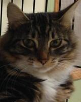 Young Female  - Domestic Long Hair-Tabby - Brown