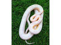 Albino and Alabama snake for sale