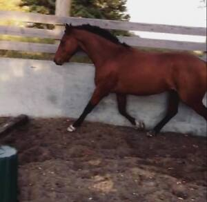 Horse for Sale: 4yr old gelding