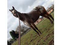 Project Pony 13.2hh , inhand, companion etc