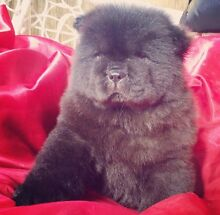 Chow Chow Puppy! Kellyville Ridge Blacktown Area Preview