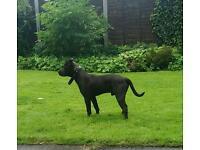 Mastiff cross pitbull