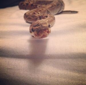 Ball python needs loving home