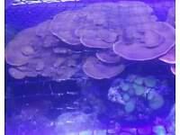 Marine Brown Plating Montipora Coral Frags