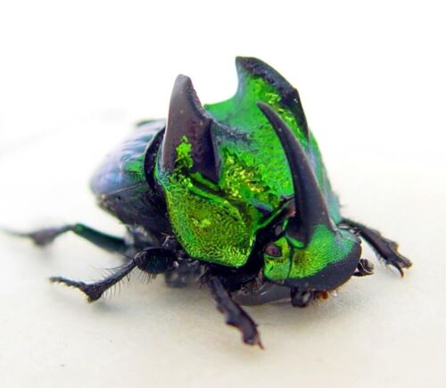 Real Framed Rare Phanaeus Demon Male Metallic Green Scarab Beetle 8533