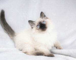 Seal Point  Male Ragdoll Kittens are Available for Rehoming