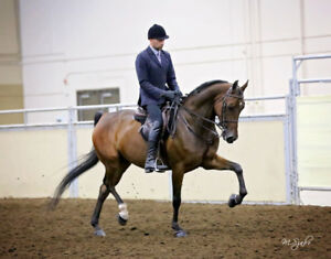 Morgan Gelding with Show Experience for Sale