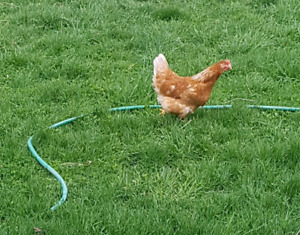Young laying Chickens
