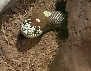 California king snake with everything