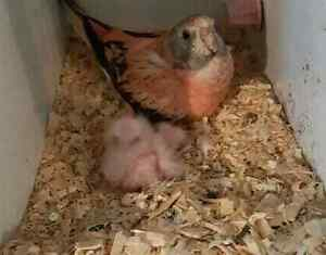 Baby Rosey bourkes  very cute great pets