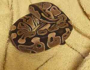 Young Ball Python EVERYTHING YOU WILL NEED
