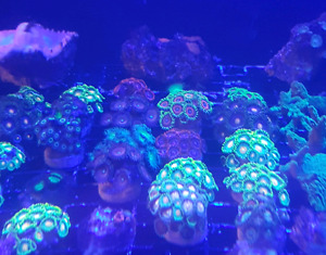 Saltwater Coral and coral frags