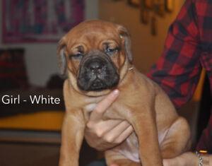 Dogue de Bordeaux x Italian/African Mastiff Puppies!!!