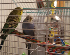 Two healthy budgies