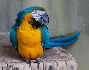 Golden Macaw for sale