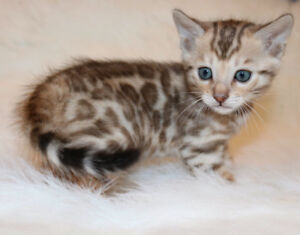 Exotic silver and snow bengal kittens ready to go Christmas