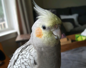 Cocketiel lost in Amherst on October 4th.