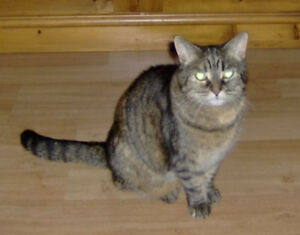 Lost Tabby Cat, Hull Quebec Reward