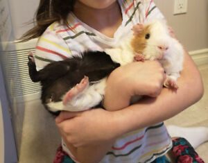 guinea pig WITH large cage and everything VERY FRIENDLY!