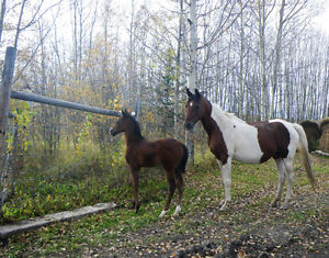 REG. PART BRED ARABIAN BAY TOBIANO WITH COLT