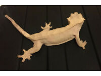 Crested Gecko Female