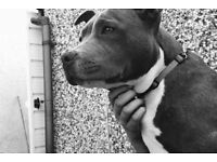 Blue female staffordshire bull terrier