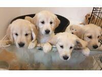 Vet checked, ready for new homes,Golden Retriever pups