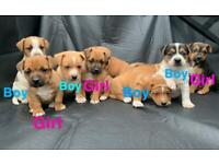 Full Jack Russell puppies for sale