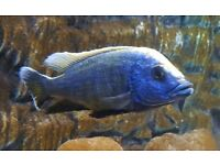 REDUCED MUST GO - Malawi Cichlids Sulphur Heads x3
