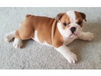 Best of British Bulldog puppies for sale