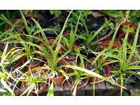 Japanese sedge grass ( Carex )