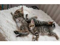 Bengal x snow Bengal kitten