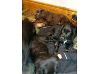 Cocker pups for sale