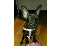 FRENCH BULLDOG LAST 1
