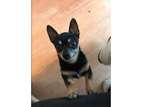 Missing Dog (Chihuahua) His name is Totty