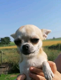 Chihuahua Re -advertised due to timewaster
