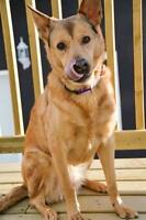 "Adult Female Dog - Shepherd-Labrador Retriever: ""Annie"""