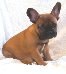 My Amazing French Bulldog puppies are ready to go!