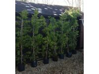 Potted conifers 3-4ft 5-6ft 7-8ft